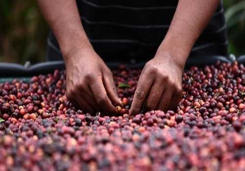 L'America Centrale è tra i maggiori produttori di caffè al mondo